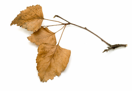 alder: dry birch branch with dry leaves on a white background