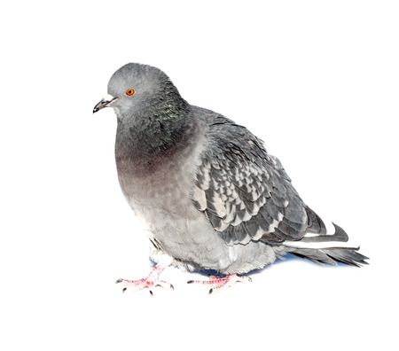 wild pigeons on a white background Stock Photo