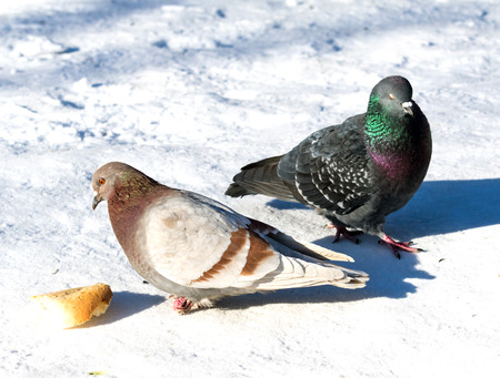 wild dove in the snow on the nature Stock Photo