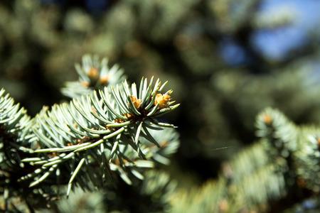 arborvitae: Green arborvitae spruce fir, landscape