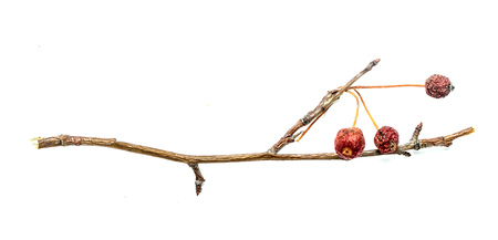 twigs: dry twigs with berries, isolated on white