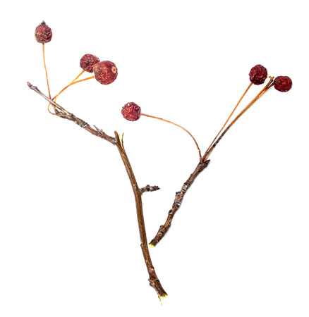 shrunken: dry twigs with berries, isolated on white