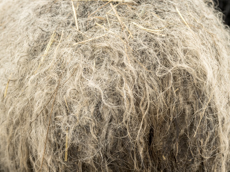 furry stuff: wool sheep dirty closeup