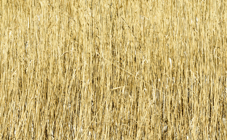 dense: dry reed dense background