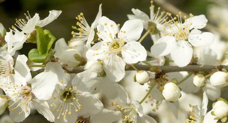 landscape flowers: white cherry blossom flowers, spring landscape