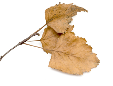 dry leaves: dry birch branch with dry leaves on a white background