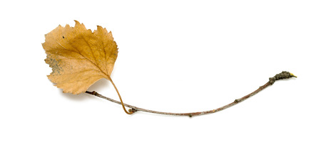 dry: dry birch branch with dry leaves on a white background