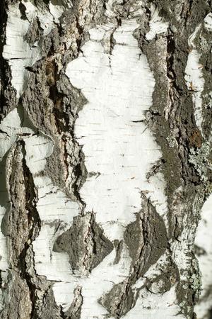 birchen: Old birch tree bark