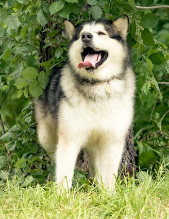 siberian: siberian husky dog, summer