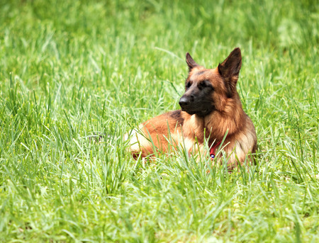german shepherd on the grass: German Shepherd on a green grass Stock Photo