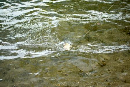 crucian carp: carp fish hanging on the line Stock Photo