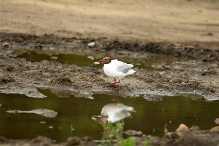 ridibundus: Black-headed Gull (Larus ridibundus), sitting on the ground