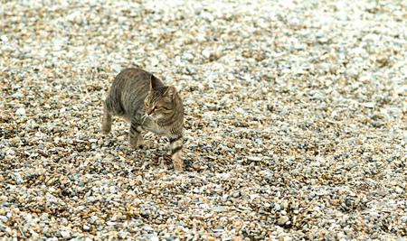 gray tabby: gray tabby cat walking on the pebble beach Stock Photo