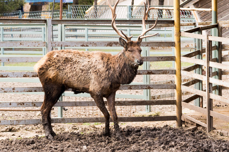 deer with horns in a cage