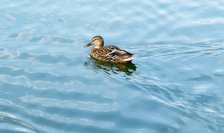 pato real: Mallard pato en el agua