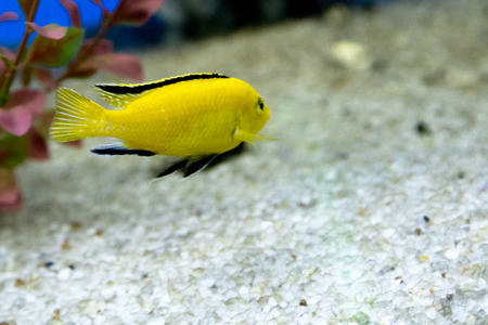 freshwater: aquarium fish closeup