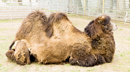 Bactrian camel in the aviary Stock Photo