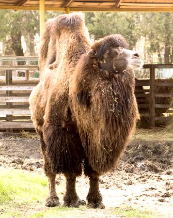 aviary: Bactrian camel in the aviary Stock Photo