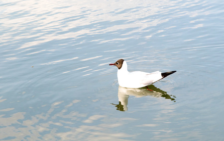 Black-headed gull on the water