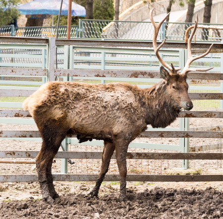 bocinas: deer with horns in a cage