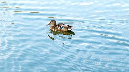 mallard: Mallard duck on the water