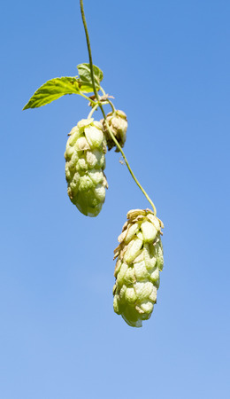 hop plant on background of sky