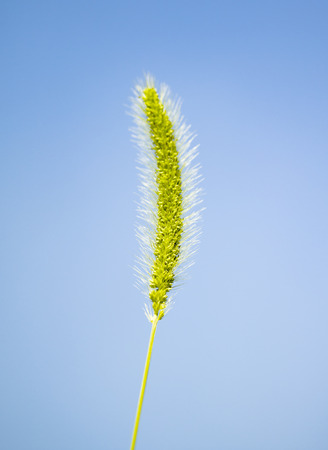 against: Spike grass against the sky