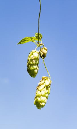 hop plant: hop plant on background of sky