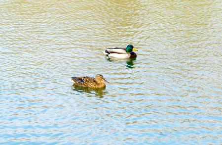 drake: duck and drake swimming in pond