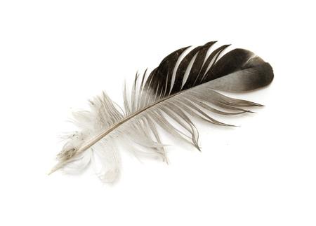 black bird feather isolated on white background Stock Photo
