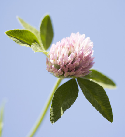 trifolium: wildflower Trifolium natural landscape Stock Photo