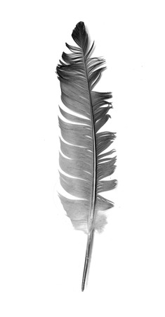 black bird feather isolated on white background Stok Fotoğraf