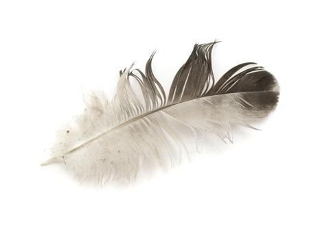 zwarte vogel veer geïsoleerd op witte achtergrond Stockfoto
