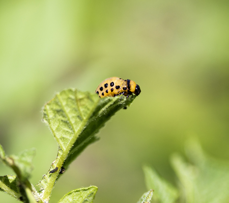 larva: Colorado potato beetle larva
