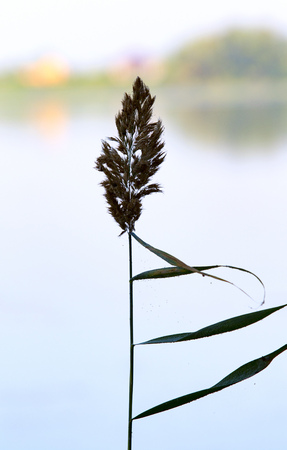 bulrush: bulrush silhouette on a background of nature