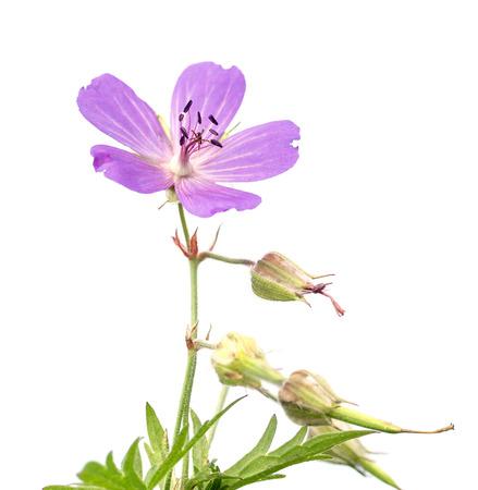 Wildflower: wildflower Trifolium natural landscape Stock Photo