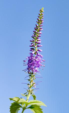 trifolium: wildflower Trifolium natural landscape Stock Photo