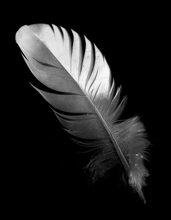 black feather: feather of a bird on a black background Stock Photo