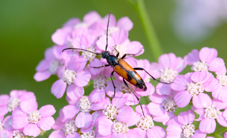 Red-and-black beetle eating a pink flower.