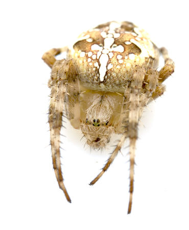 arachnida: Spider close-up on a white background