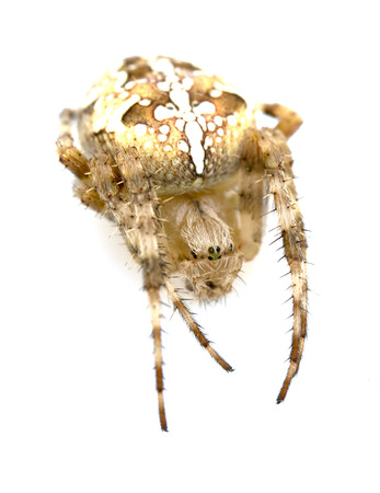 araneae: Spider close-up on a white background