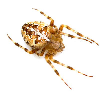 Spider close-up on a white background