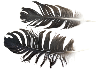 lightly: bird feather on white background Stock Photo