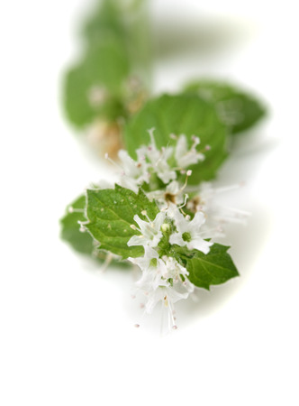 fragrant: mint fragrant flowers on a white background