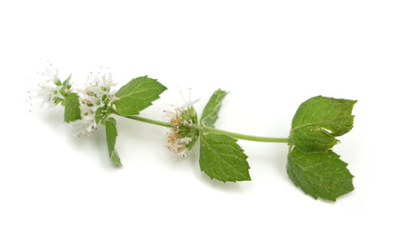 mint fragrant flowers on a white background