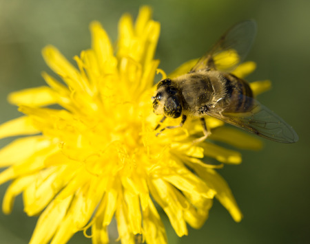 bee on yellow flower, closeup Stock Photo