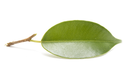 green tree leaf isolated on white Stock Photo