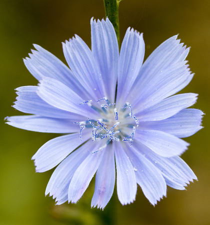 chicory flower close-up