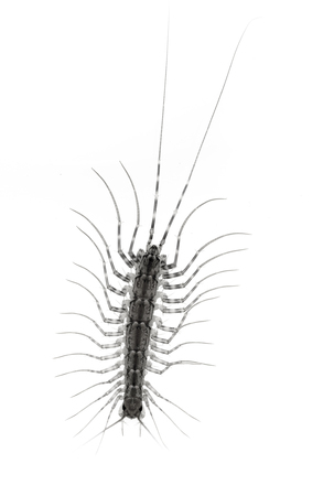 segmented bodies: centipede on a white background