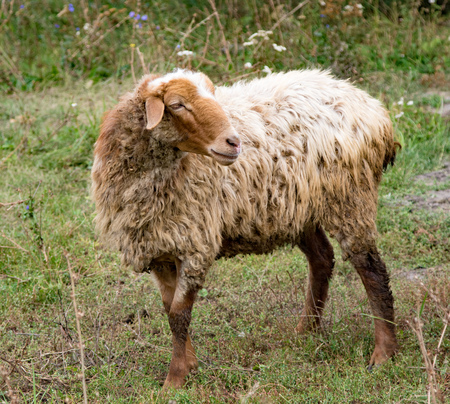 Herd of sheep walking on a green meadow